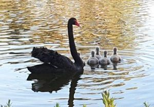 2020.11.24 devotion swans 1-350