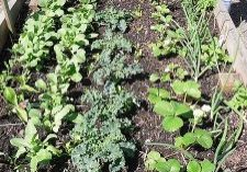Community_vegetable_garden